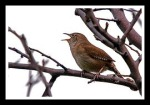 Northern House Wren